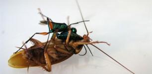 Ma quali zombie gli insetti possono essere molto pi for Divora larve di zanzara