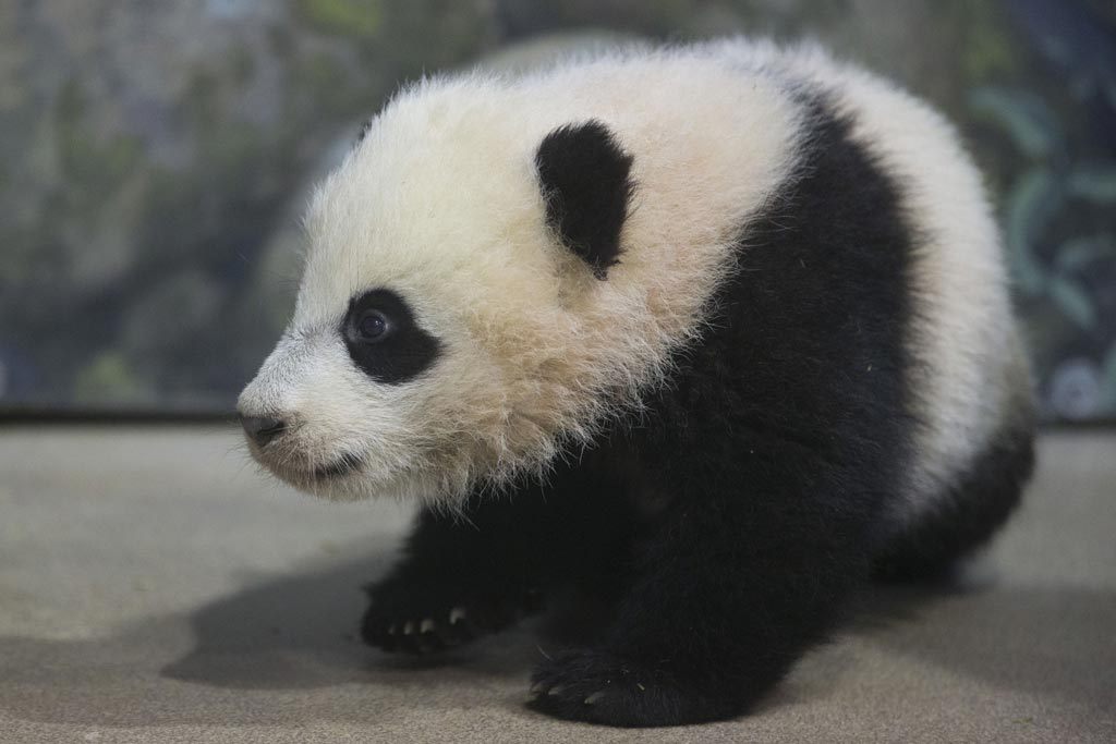 Le foto dei cuccioli di uno degli animali rari pi dolce: il panda - Ecoo 99