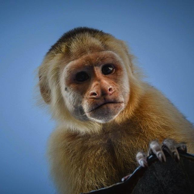 Pi simili di quanto si pensi 10 cose che le scimmie hanno in comune con noi - Scimmia che si guarda allo specchio ...