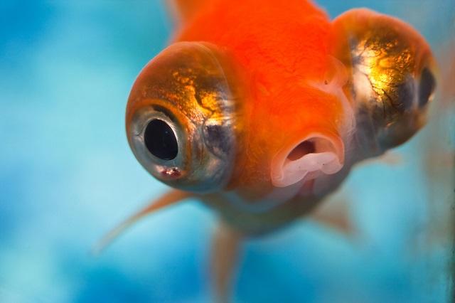 06 pesce rosso