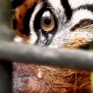 Le lacrime della tigre in gabbia contro il bracconaggio, aiuta il WWF a fermare il massacro
