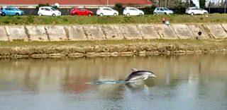 """Un delfino è venuto a """"sciacquare le pinne in Arno"""" (e ormai è un pisano Doc)"""