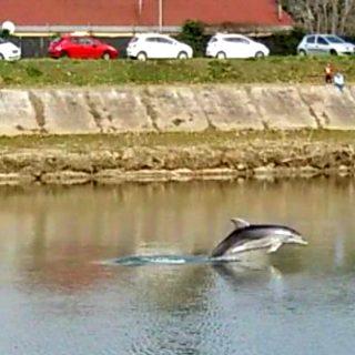 """Un delfino è venuto a """"sciacquare le pinne in Arno"""""""
