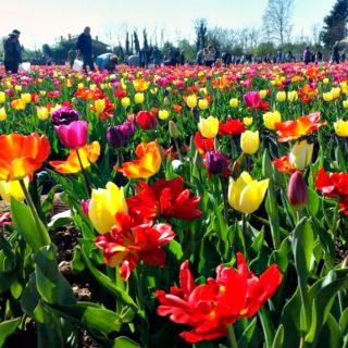 Olanda a Milano: aperto campo con 250mila tulipani