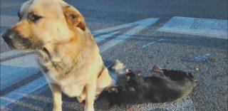 Roma, cane veglia per ore l'amico investito da un'auto: erano in mezzo alla strada