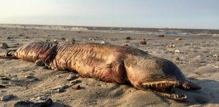 Texas City. Misteriosa creatura trovata sulla spiaggia dopo il passaggio dell'uragano Harvey