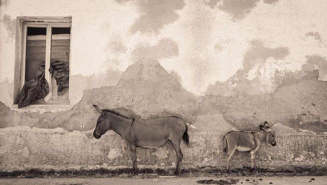 Gli asinelli dell'Asinara