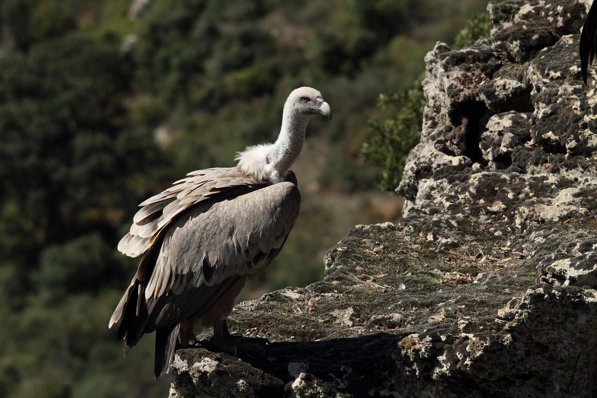 Un avvoltoio grifone