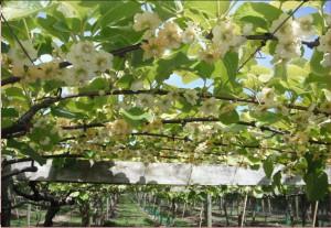 Frutteto di kiwi in fiore: il luogo dove ho passato lunghe ore negli ultimi giorni.