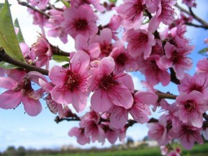 fiori-di-pesco_NG1