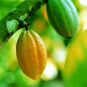 Cabosse di cacao Forastero