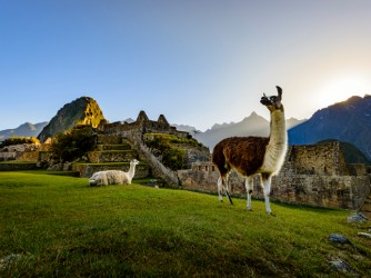 Llamas at first light at Machu Picchu, Peru