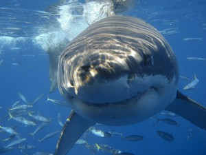 great-white-shark-close-up