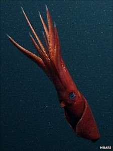 _55483877_octopoteuthis1