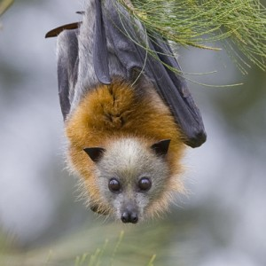 flying fox pic
