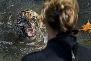 AP10ThingsToSee National Zoo Tiger Cubs