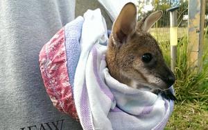 kangaroo_3163010b