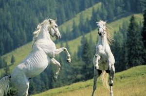 10.09.00 Piber, allevamento cavalli lipizzani
