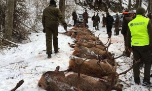 18.01.03 Sachsenburg, cervi e caprioli abbattuti in caccia di massa