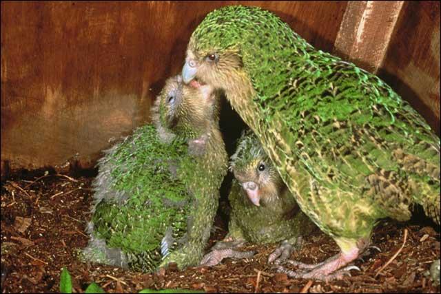 IL PIU' BRUTTO Kakapo