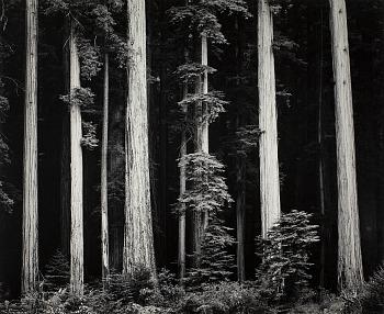 Ansel Adams Redwoods, Bull Creek Flat, Northern California, 1960 ca.,  © 2012 The Ansel Adams Publishing Rights Trust, g.c. Collezione Fondazione Cassa di Risparmio di Modena