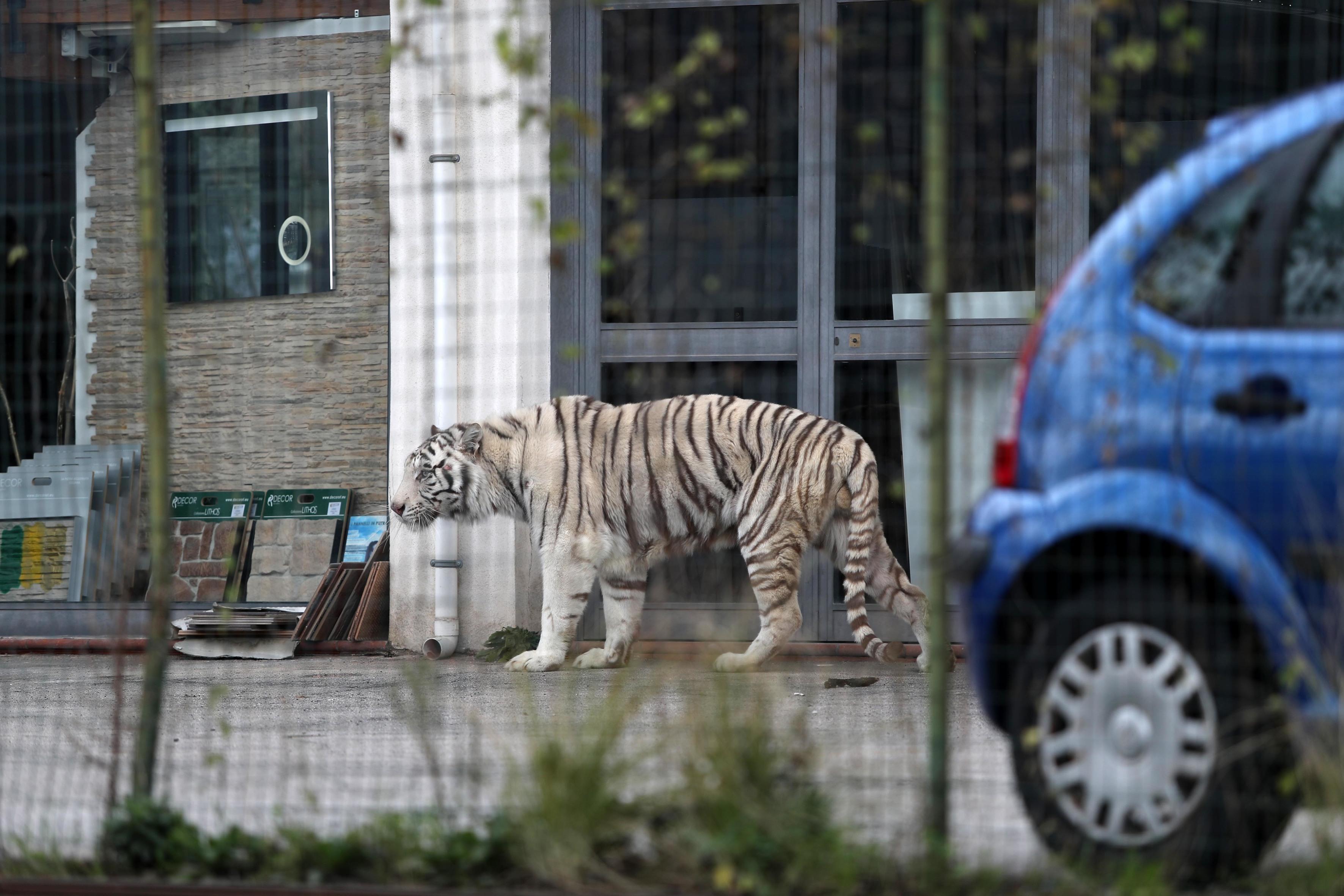 Tigre scappata dal circo a Monreale