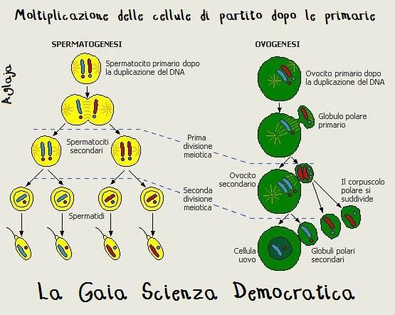 meiosi-ciclo-vitale