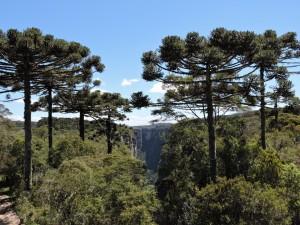 Foresta di Araucarie