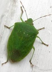 Cimice verde e/o padana