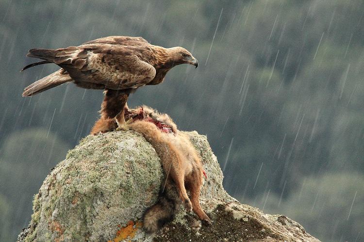 L'aquila e la volpe (foto di Daniele Lorrai)