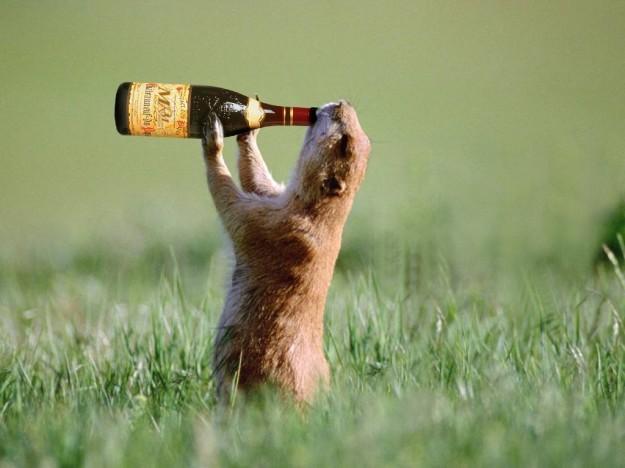345-marmotta-beve-bottiglia