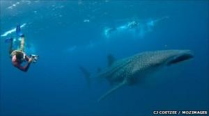 Un sub con uno squalo balena