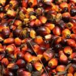 Il frutto della palma da olio