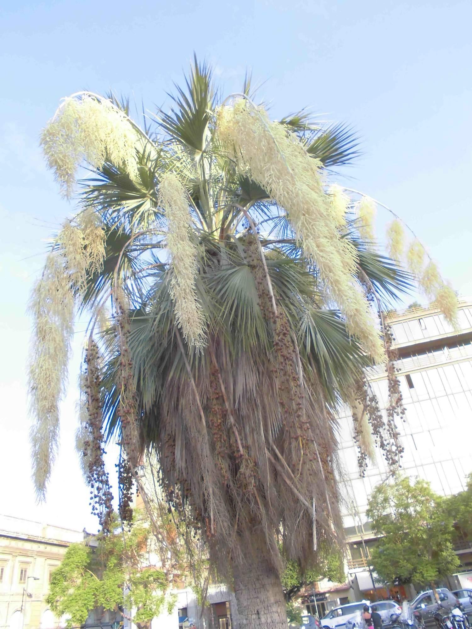 palma blu1