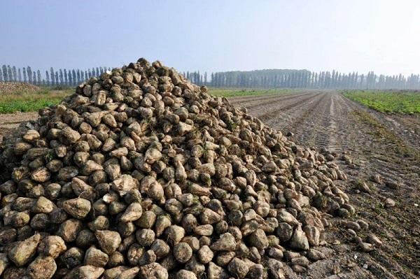 Subito un tavolo di crisi per il bieticolo saccarifero for Subito it molise attrezzature agricole