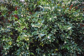"""Pianta di Sarcococca - dal sito """"www.gossipinthegarden.com"""""""