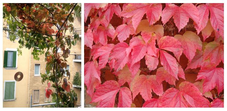 """Parthenocissus quinquefolia - Foto di Patrizia Pozzi (sinistra) e foto dal sito """"www.actaplantarum.org"""""""