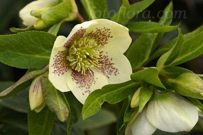 "Elleborus orientalis ""Guttatus"" - da ""fotoflora.com"""