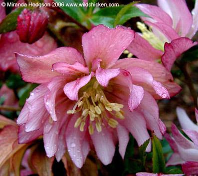 """Helleborus x hybridus serie Party Dress - da """"wildlife.com"""""""