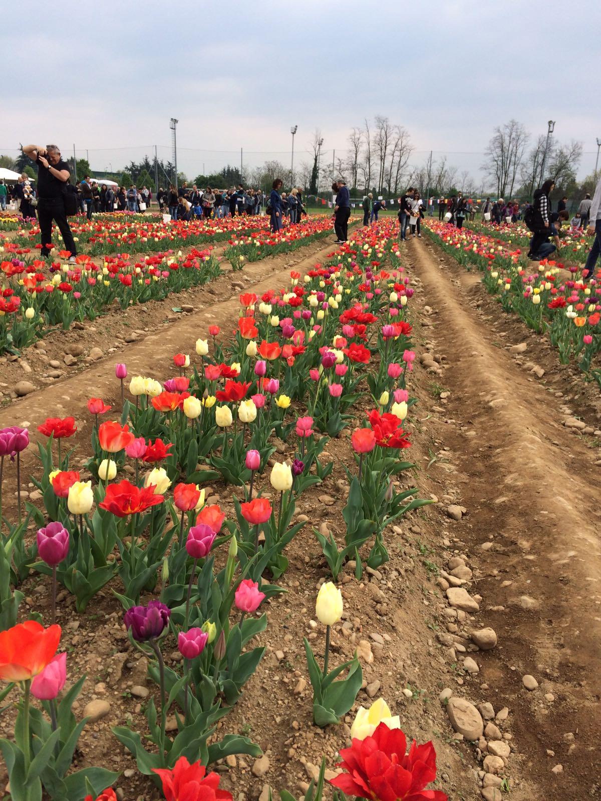 Tulipani italiani da raccogliere e portare a casa for Tulipani italiani