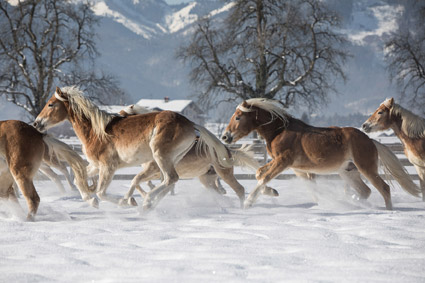 Mercatino natalizio anche a Ebbs, Tirolo, tra gli Haflinger della scuderia Fohlenhof (foto R. Maybach)