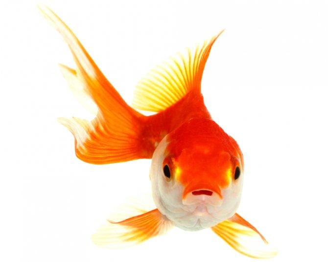Maila a kamal pesci rossi intelligenti zoelagatta for Immagini pesciolini