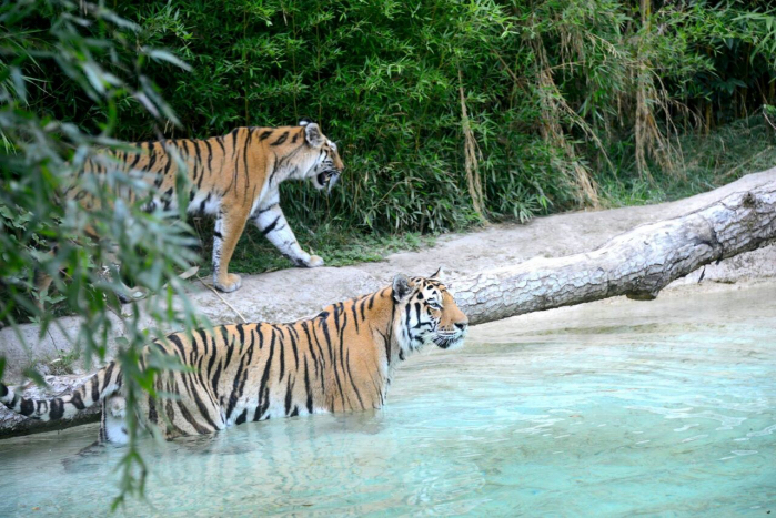 Salvare la tigre zoelagatta blog for Disegni delle tigri