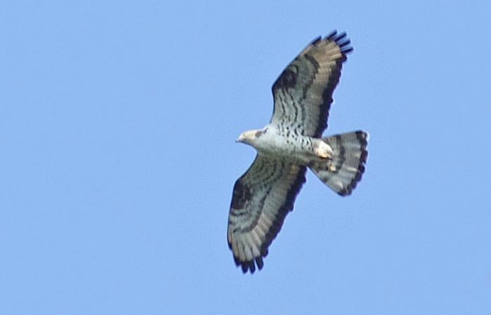 FalcoPecchiaiolo