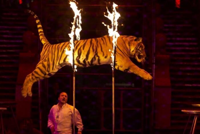 tigre al circo