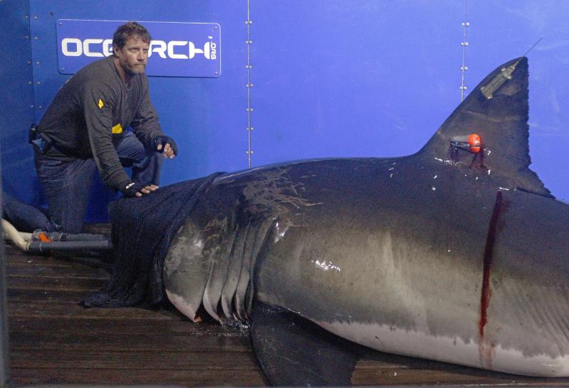 mc-great-white-shark-mary-lee-twitter-star-20150518_Fotor