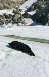 Giorno 43 - foca che prende il sole sul pack