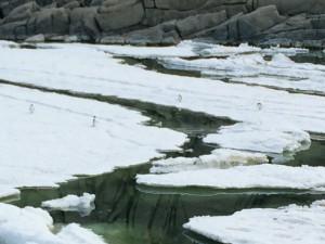 Giorno 64 - pinguini di Adelia sul pack