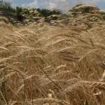 P1160669 L antico grano gentil rosso, raccolta del grano x blog