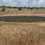 P1160706 Grano Gentil rosso e il labirinto blu